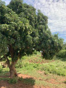 Mango puu mango tree